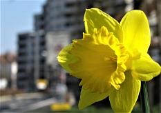 An möglichst vielen öffentlichen Orten soll Marburg zum Stadtjubiläum blühen. Dafür stellt die Stadt den Bürger*innen 60.000 Blumenzwiebeln.©Oskar M. Schröder.