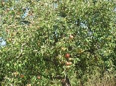 Apelbaum2018 in Cyriaxweimar mit vielen Äpfeln©Bernd Weimer