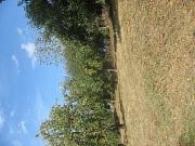 Apfelbaum092020 2 rechtsgedreht mit vielen Früchten in Cyriaxweimar