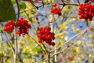 Rote Beeren an einem Strauch.©Universitätsstadt Marburg