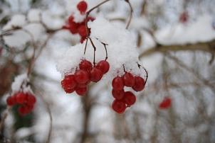 Rote, Schnee bedeckte Beeren am Strauch©Universitätsstadt Marburg