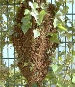 Ein Bienenschwarm, der sich an einem Gartenzaun zusammengefunden hat.