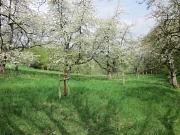 Blühende Obstbäume im Heiligen Grund in Ockershausen.