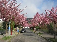 Rosa blühende Zierkirschen-Bäume in der Stresemannstr.©Universitätsstadt Marburg FD Stadtgrün