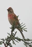 Gräulicher Finkenvogel mit verwaschen rötlicher Brust und roter Stirn.