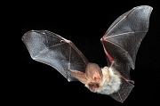 Fledermaus mit besonders langen Ohren im Flug (Braunes Langohr).