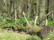 Der Waldboden ist grün die Buchen bekommen die ersten Blätter