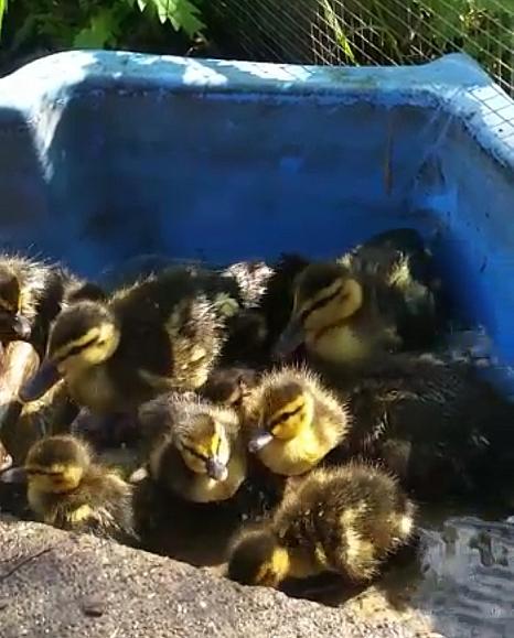 Die Entenküken sind wieder vereint und in der Pflegestelle an einem sicheren Ort.©Ordnungsamt, Stadt Marburg