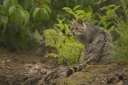 Die Wildkatze erobert ihren Lebensraum in Marburg und Umgebung zurück.