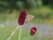 Ein kleiner Schmetterling (Dunkler Wiesenknopf-Ameisenbläuling) sitzt kopfüber am Blütenstand eines Großen Wiesenknopfes