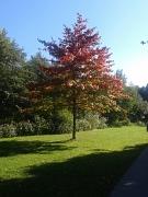 Eiche mit rotem Herbstlaub im Lanhnvorland
