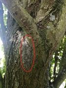 Der Befall durch den Eichenprozessionsspinner ist zu erkennen an den mit Raupen und Larvenhäuten gefüllten Gespinstnestern am Stamm und in Astgabelungen von Eichen-Arten.