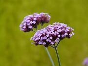 Violette Eisenkrautblüten in einer Nahaufnahme