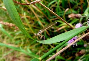 Kleine weißliche Libelle auf einem Blatt