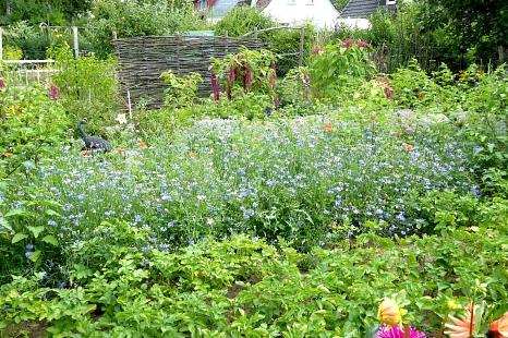 Blühfläche aus regionalem Saatgut in einem Garten in Ockershausen (Kornblume und Borretsch)©Universitätsstadt Marburg