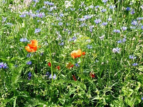 Blühfläche aus regionalem Saatgut in einem Garten in Ockershausen (blau blühende Kornblume, blau blühender Borretsch und rotem Klatschmohn).©Universitätsstadt Marburg