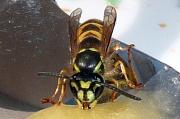 Wespe bei der Nahrungsaufnahme (Ansicht von vorne). Auf der Stirn hat sie eine schwarze Zeichnung, die an einen Anker erinnert. Diese charakteristische Zeichnung weist sie als Exemplar der Gemeinen Wespe (Paravespula vulgaris) aus.