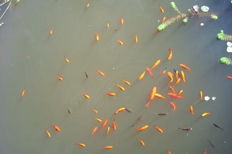 Foto von oben von einem Schwarm Goldfische©K. Bork