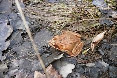 Hellbrauner Frosch mit dunkelbraunen Schläfenflecken hinter den Augen (Ansicht von schräg oben)