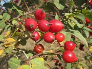 Rote Hagebutten im Herbst