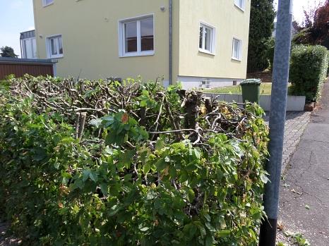 Hainbuchenhecke auf einer Grundstücksgrenze, die während der Vogelbrutzeit stark zurückgeschnitten wurde.