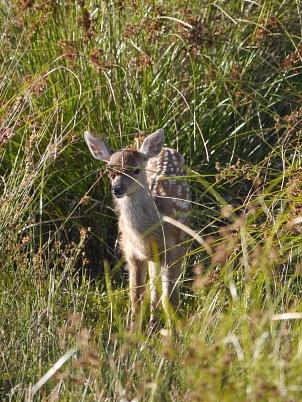 Ein Hirschkalb, das noch die für die Jungtiere typischen weißen Punkte im rotbraunen Fell hat. Das Kalb steht gut geschützt im hohen Gras.©M. Simon