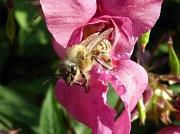 Honigbiene, die aus einer dunkelrosa Blüte kriecht (Ansicht von vorne links)