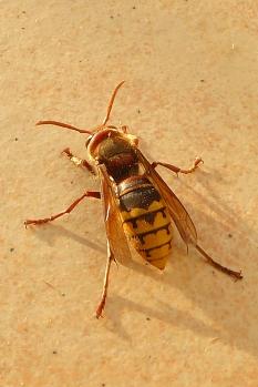 Aufnahme von schräg hinten einer Hornisse auf dem Boden sitzend.