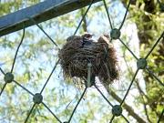Nest, das eine Wacholderdrossel in einem Ballfangzaun gebaut hat. Aus dem Nest schaut ein Küken heraus.