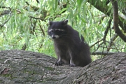 Junger Waschbär sitzt auf dem Ast einer Trauerweide