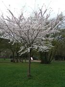 Kirschblüte im Schülerpark