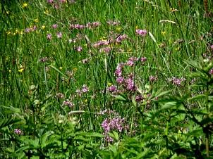 Blume mit rosafarbenen, fransig wirkenden Blütenblättern auf einer blütenreichen Feuchtwiese