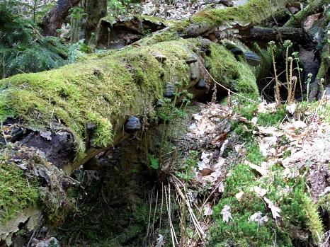 Moosbedeckter Baumstamm am Waldboden. An einigen Stellen des Stammes sitzen Baumpilze. In der nahen Umgebung weitere Moospolster und sich gerade entrollende Farnwedel.©Universitätsstadt Marburg