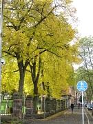Linden mit Herbstlaub im Campusviertel
