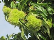 Detail Maronenfrüchte