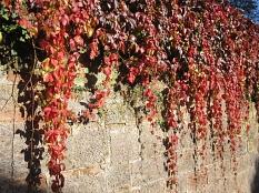 Wilder Wein mit buntem Herbstlaub hängend über einer Sandsteinmauer©Universitätsstadt Marburg