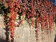 Wilder Wein mit buntem Herbstlaub hängend über einer Sandsteinmauer