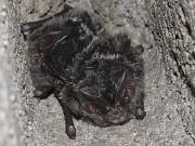 Nahaufnahme von zwei Fledermäusen mit großen Ohren und vorwiegend schwarzem Fell in einer Mauerhöhlung.