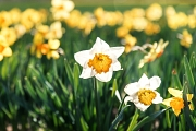 An möglichst vielen öffentlichen Ecken in der Stadt können Marburger*innen ihre Stadt zum Stadtjubiläum Marburg800 im März nächsten Jahres zum Blühen bringen. Dafür laufen die Vorbereitungen auf Hochtouren. Die jeweils 800 Blumenzwiebeln für Osterglocken