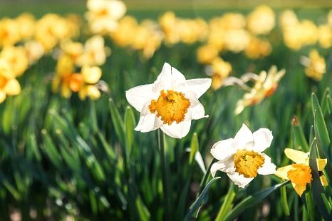 An möglichst vielen öffentlichen Ecken in der Stadt können Marburger*innen ihre Stadt zum Stadtjubiläum Marburg800 im März nächsten Jahres zum Blühen bringen. Dafür laufen die Vorbereitungen auf Hochtouren. Die jeweils 800 Blumenzwiebeln für Osterglocken©Sole-d-Allessandro/Unsplash