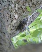 Nest Eichenprozessionsspinner