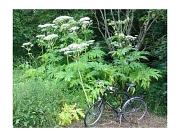Ein Fahrrad für Erwachsene vor einem Bestand von Ríesenbärenklaupflanzen. Die Pflanzen sind mehr als doppelt so hoch wie das Fahrrad.