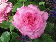rosafarbene Blüte der Rose 'Elisabeth von Thüringen'