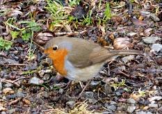 Kleiner zierlicher Vogel mit rotbrauner Färbung im Gesicht und auf der Brust