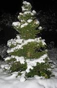schneebedeckter Fichtenbaum im Schnee