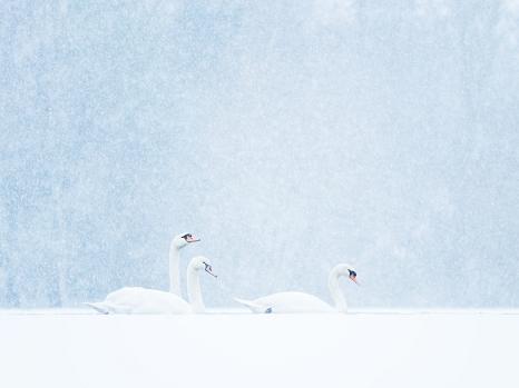 Drei weiße Schwäne vor hellblauen kontrastarmen Hintergrund.©Felix Wesch