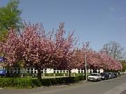 Schwanhof, üppige Zierkirschenblüte der Baumreihe an der Straße