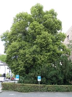 Vollbelaubte Sommerlinde am Parkplatz beim Landgericht (Universitätsstraße).©Stadt Marburg