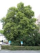 Vollbelaubte Sommerlinde am Parkplatz beim Landgericht (Universitätsstraße).