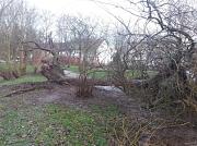 Sturmschaden Friederike im Northamptonpark, umgeworfene Weide